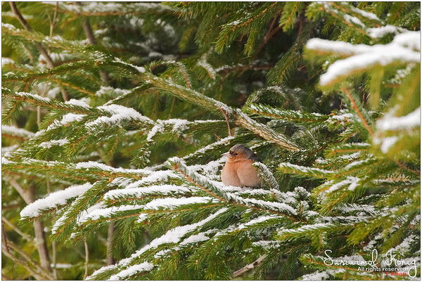 Common chaffinch  - Possible that a bird can look like a peach?