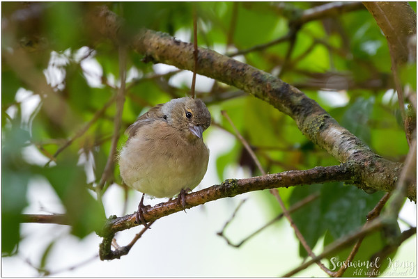 Common chaffinch (Buchfink) : is curious to know something