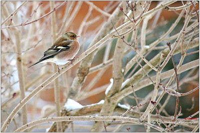 Chaffinch (Fringilla coelebs) - Looking thoughtfully, pretty little one!