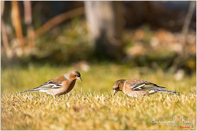Common chaffinch  - Foraging grass
