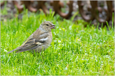 Common chaffinch (Buchfink) : cracking the shell of sunflower seed