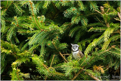 Crested tit (Haubenmeise) : Cute little one