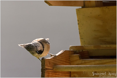 Crested tit (Haubenmeise) : Hello there