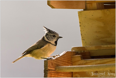 Crested tit (Haubenmeise) : lovely side profile