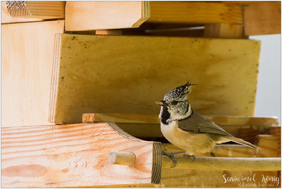 Crested tit (Haubenmeise) : One is not enough, isn't it?