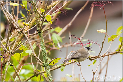 Male Eurasian Blackcap : looking for a juicy one