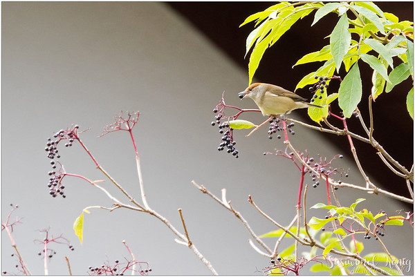 Female Eurasian Blackcap : Elderberries attract birds and she is one of those