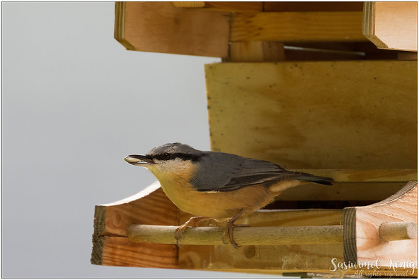 Eurasian nuthatch (Kleiber) : sunflower seed as a take away :P
