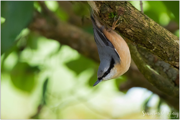 Eurasian nuthatch (Kleiber) : observing the situation