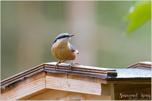 Eurasian nuthatch (Kleiber) : drizzling and confusing