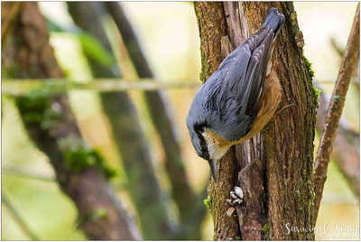 Eurasian nuthatch (Kleiber) : the eating spot ! Easy to crack sunflower seeds