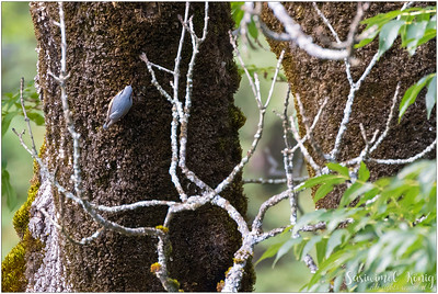 Eurasian nuthatch (Kleiber) : climbing up