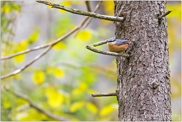 Eurasian nuthatch (Kleiber) : resting up there