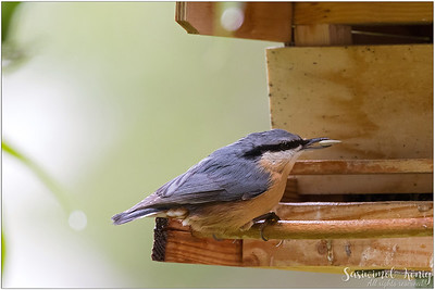 Eurasian nuthatch (Kleiber) : it is raining but I'm hungry