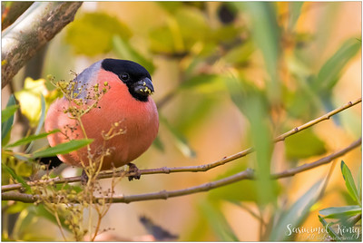 Male Bullfinch nibbling flowers, of coz the evidence is clear