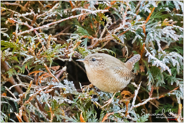 Eurasian wren - tiny little bird