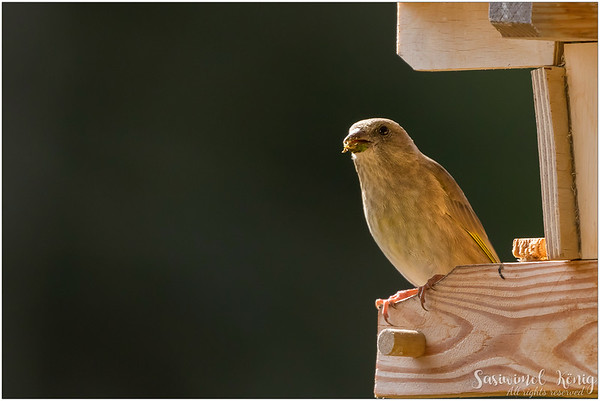 A juvenile European greenfinch having beaks covered with food