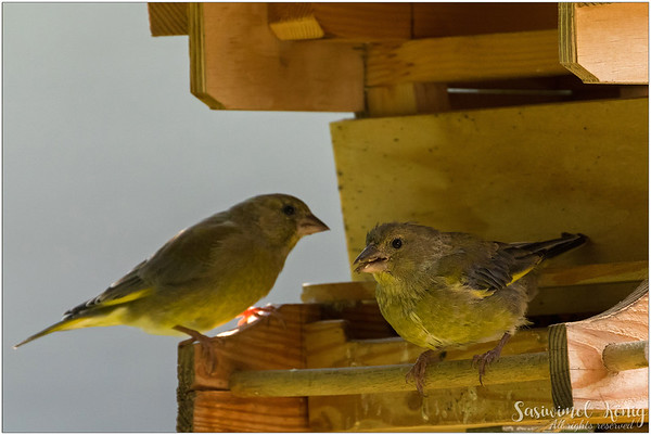 European greenfinch : chewing seeds
