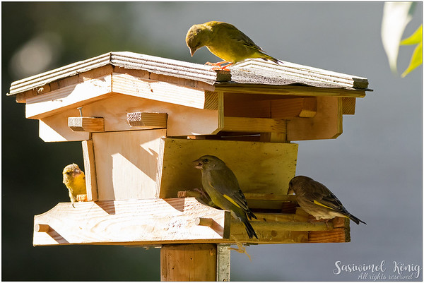 European greenfinch : Observing one another