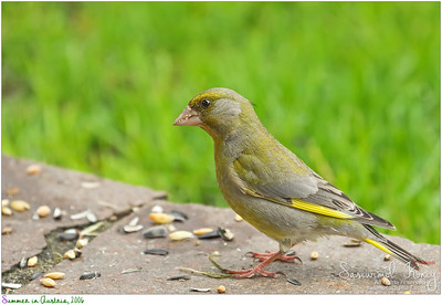 European Greenfinch bird with nut crumbs on its beak