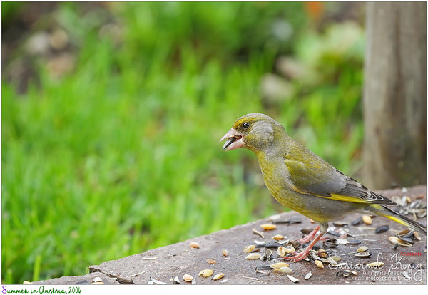 European Greenfinch cracking the shell of sunflower seed