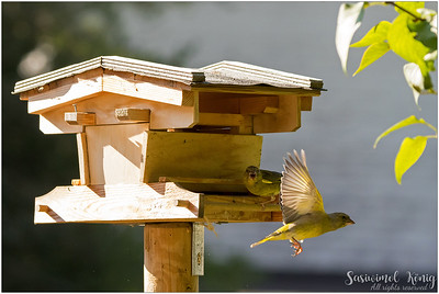 European greenfinch : is leaving!