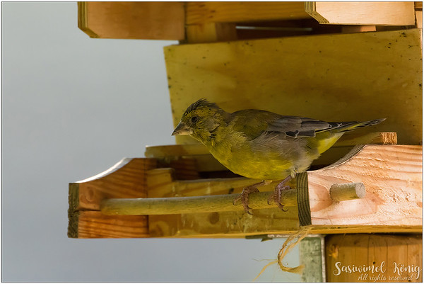 European greenfinch : the feeder is all mine
