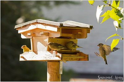 European greenfinch : should I land or should I not, that's the question