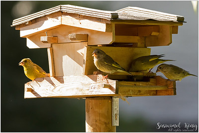European greenfinch : hang out and eat