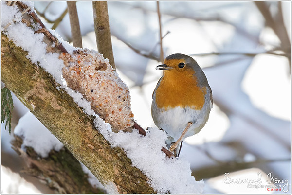European robin redbreast - Homemade, handmade food for birdies