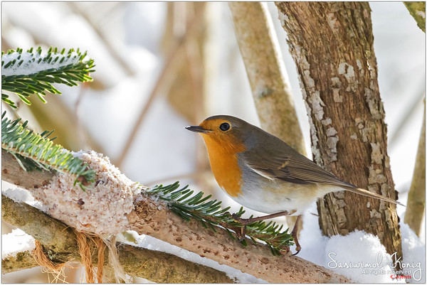 European robin redbreast - Lunch time, I guess