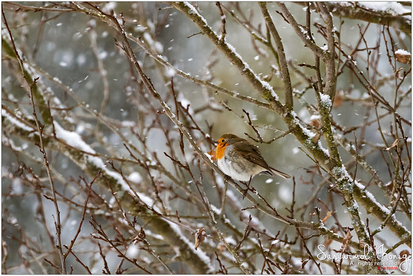 European robin redbreast - Do I have to deal with winter blues all alone? nope!