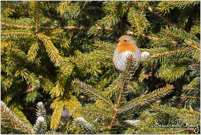 European robin redbreast - Sitting on pine branch.. looking SO adorable!