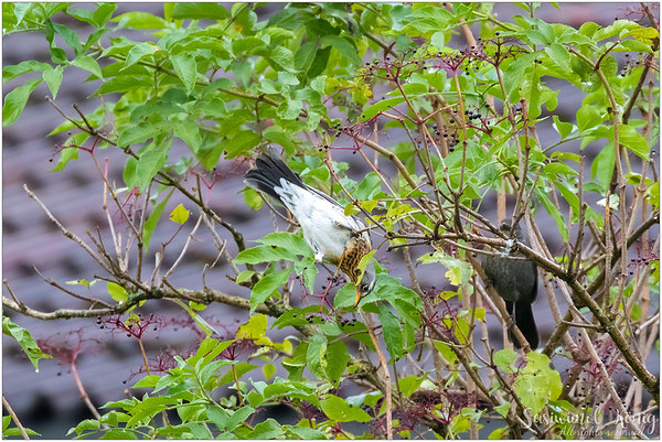 Fieldfare (Wacholderdrossel) : reaching for some Elderberry