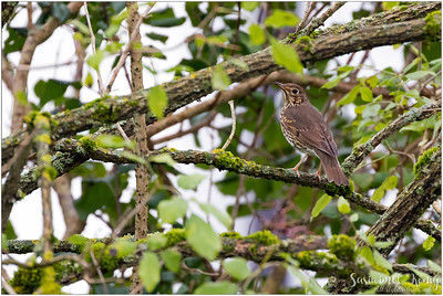 Song Thrush (Singdrossel) : on a branch with moss