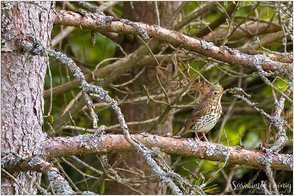 Song Thrush (Singdrossel) : on a branch with lichen