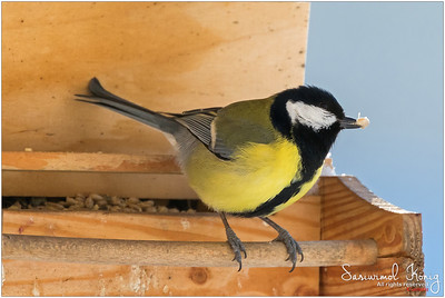 Great Tit - Sunflower hearts..no need to crack