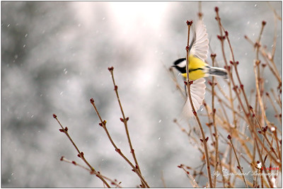 Great tit, Parus major, Kohlmeise