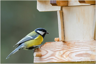 Great tit (Kohlmeise) : perching on a wooden feeder