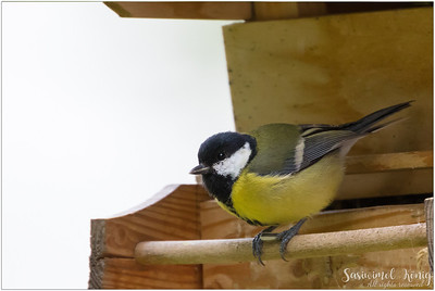 Great tit (Kohlmeise) : holding a sunflower seed