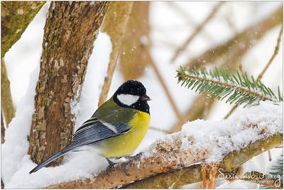 Great Tit - Need heat insulation