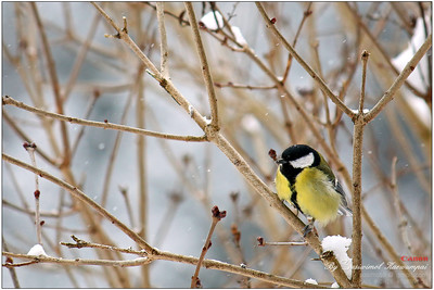 Great tit (Parus major) / Kohlmeise