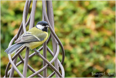 Great tit (Kohlmeise) : perching on a garden ornament