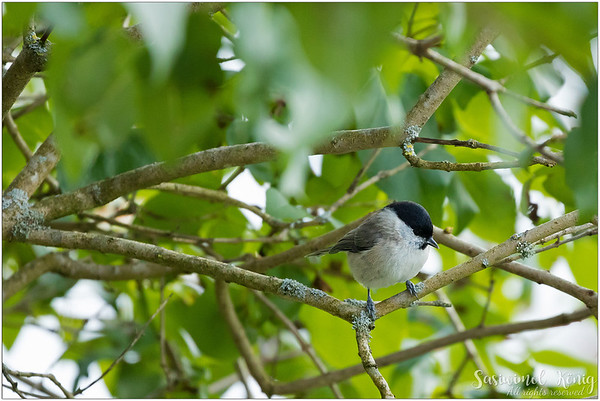 Marsh Tit (Sumpfmeise) : on a branch