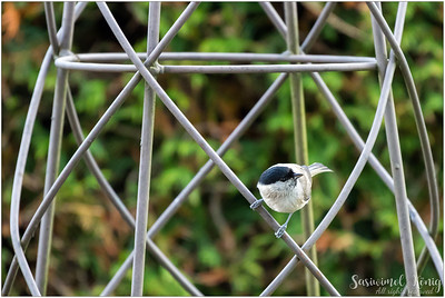 Marsh Tit (Sumpfmeise) : perching on a garden ornament
