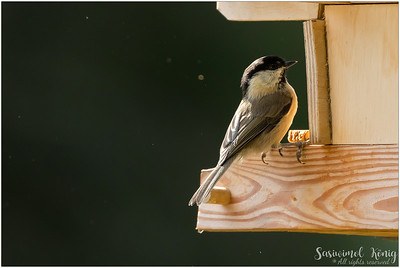 Marsh Tit (Sumpfmeise) : looking for food