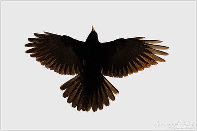 Alpine Chough OR Yellow-billed Chough (Alpendohle) : a high altitude bird spreading its wings