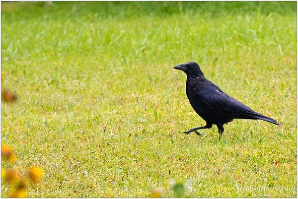 Raven : marching on the field.
