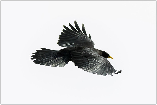 Alpine Chough OR Yellow-billed Chough (Alpendohle) : a high altitude bird