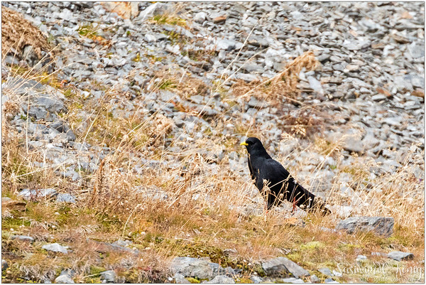 Alpine Chough OR Yellow-billed Chough (Alpendohle) : a high altitude bird, being camouflaged (not)